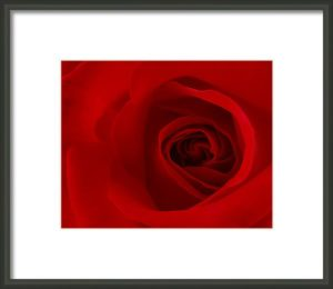 Purchase framed print of red rose