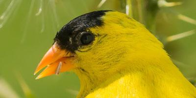 Goldfinch-Closeup-FI